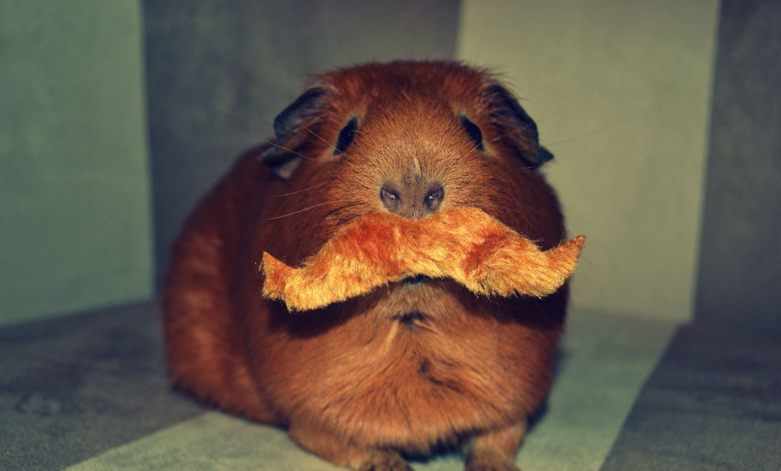 My Guinea Pig Ronald with a moustache!