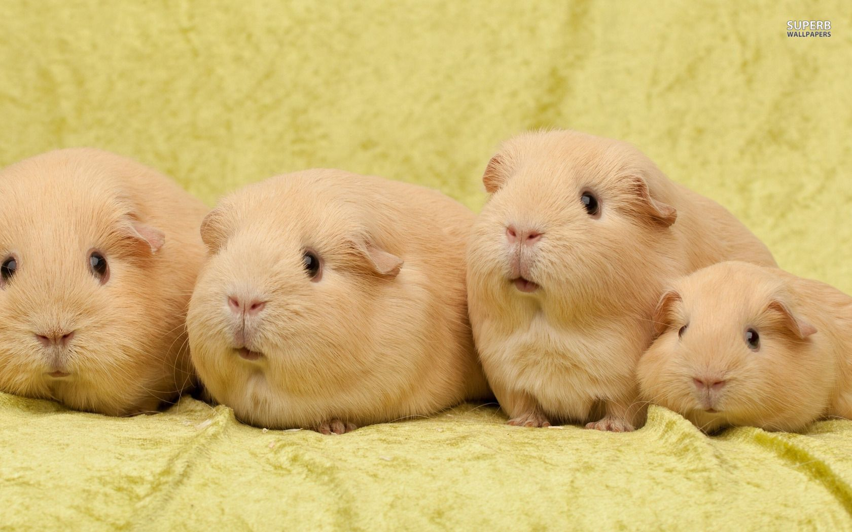 cobayas lindas | Guinea Pigs and All Things Cavy | Pinterest ...