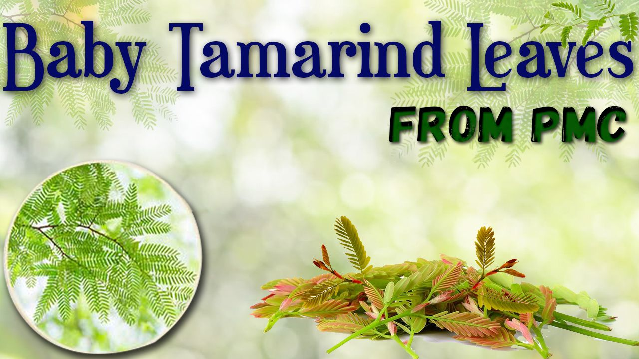 Baby Tamarind Leaves From pmc Tamarind, Leaves, Fruits