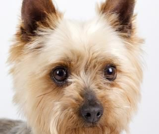Petango Com Meet Skippy A 4 Years 2 Months Terrier Yorkshire Available For Adoption In Colorado Springs Co Pet Adoption