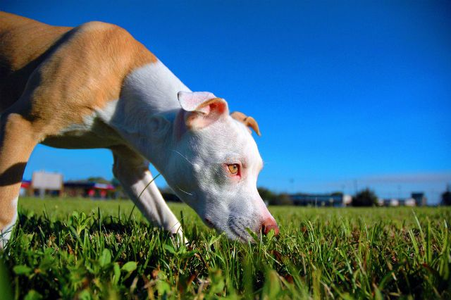 How To Get Your Dog To Go To The Bathroom On Command Pitbull Terrier Pitbulls American Pitbull Terrier