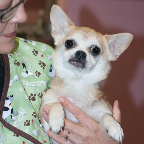 Adopt Angel Scuddles On Adoption Dogs Chihuahua Dogs
