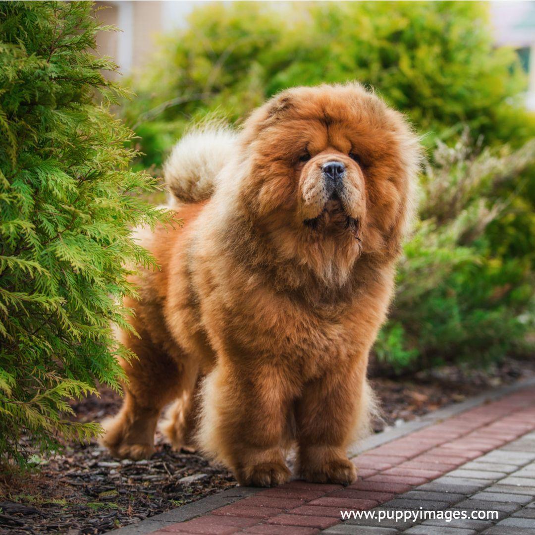 Chow Chow On Bricks Dog Breeds Chow Dog Breed Chow Chow Puppy