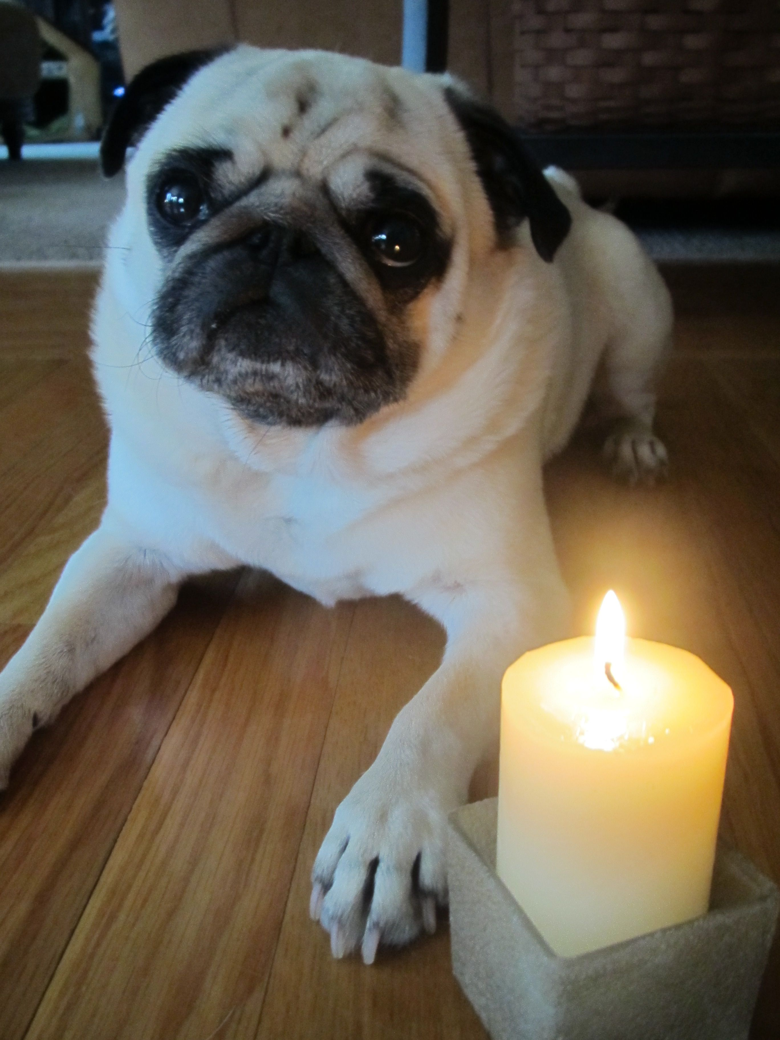 A candle for Percy is lit in Massachusetts. Pug love