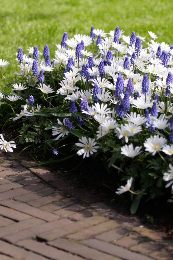Muscari Superstar Anemone Blanda White Splendour Companion Planting Fall Flowers Garden Garden Bulbs
