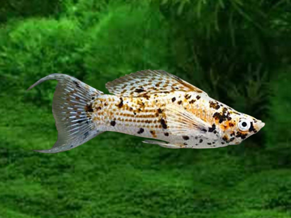 Pair Of Gold Marble Lyretail Sailfin Molly Price 6 40 Gbp Worldwide Shipping Https Diapteron Co Uk Pro Fresh Water Fish Tank Aquarium Fish Tropical Fish