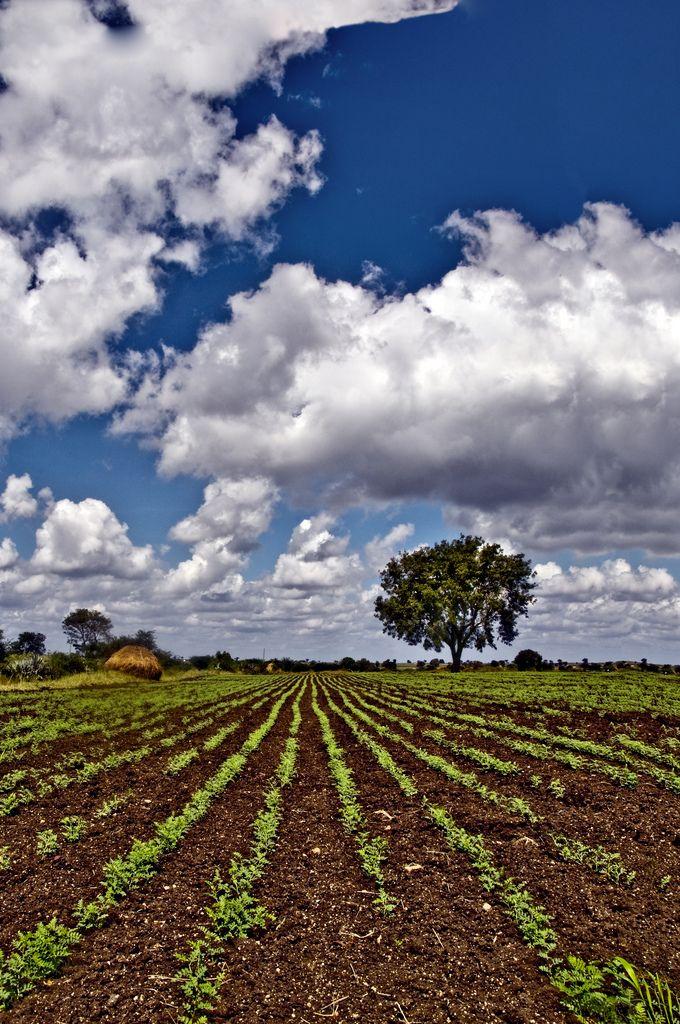 Solitary Tree and the Farmer's Lines of Green - Hubli, Karnataka, India