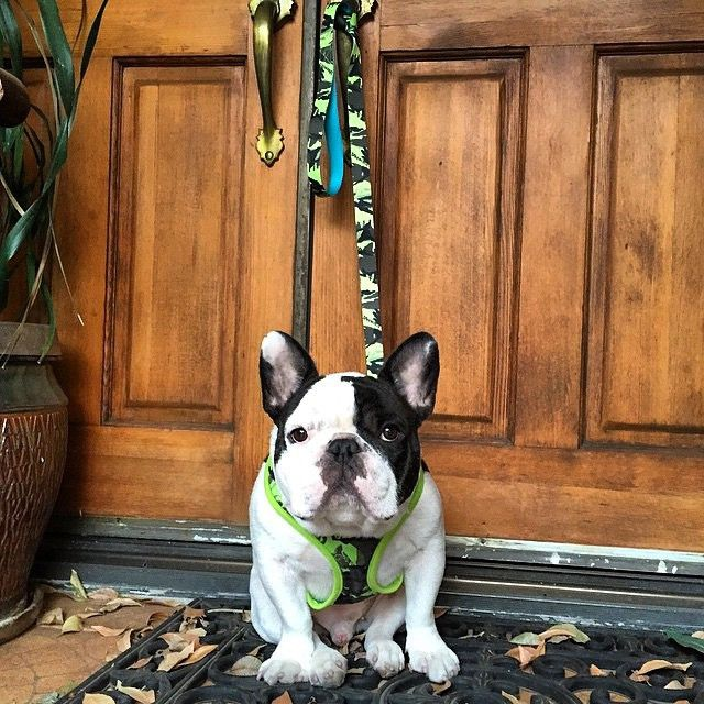 Shop Harnesses for French Bulldogs Frenchie Bulldog – FRENCHIE BULLDOG www.frenchiebulldog.com