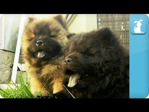 Daily Cute Chow Chow Puppies Vid Sobaki