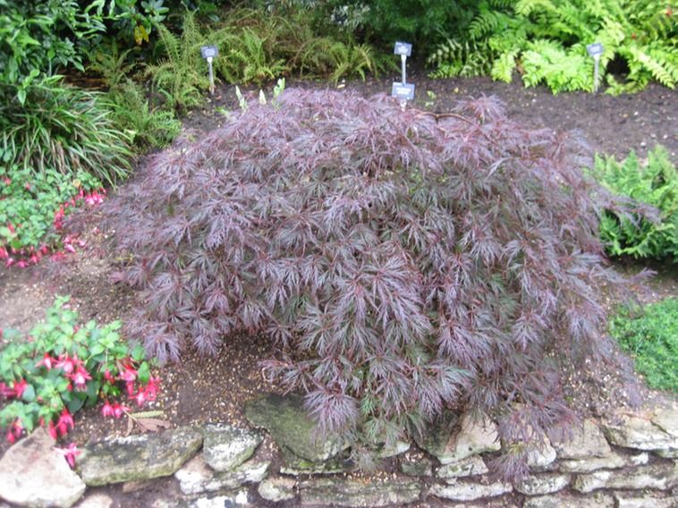 Japanese Garden Plants Names | Purple Dissected Leaf Japanese Maple