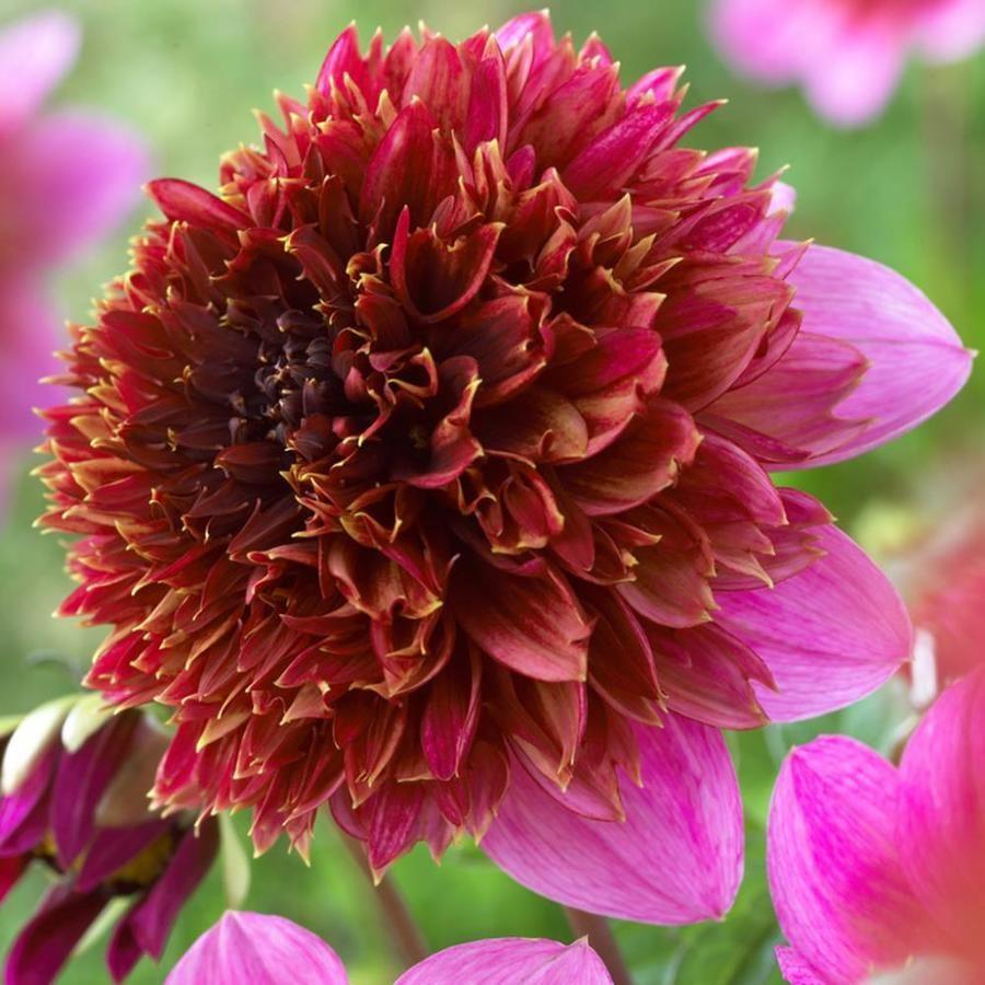 5 Count Dahlia Bulbs Lowes Com In 2020 Dahlia Flowers Growing Dahlias
