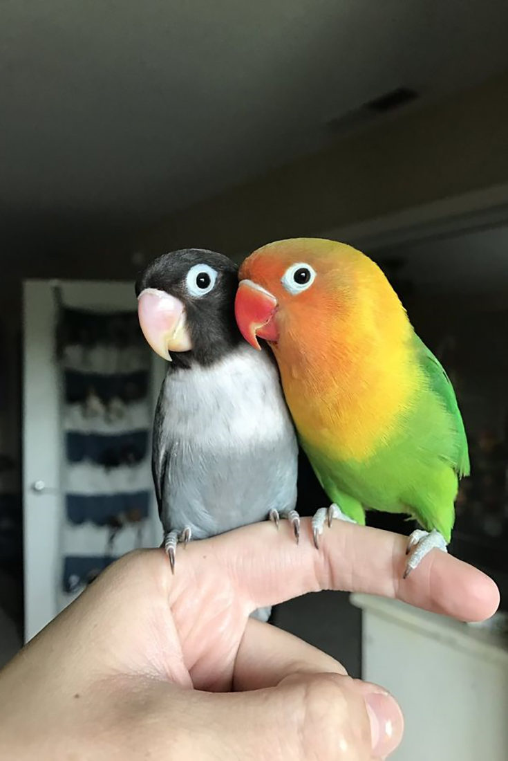 Parrot Love Story Meet Kiwi And His Goth Wife Siouxsie Birds Kiwi Love Parrot Pets Siouxsie Story Bird Love Adorable Love Birds Pet Parrot Parrot Pet
