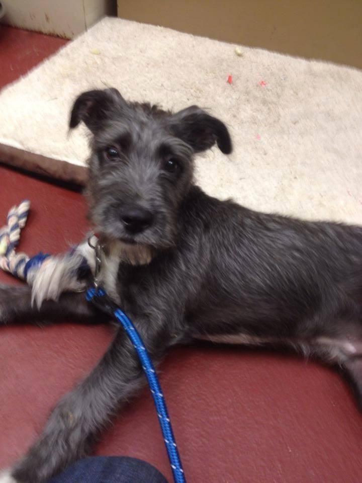 Adopt Jack On Petfinder Irish Wolfhound Dogs Irish Wolfhound Mix Irish Wolfhound