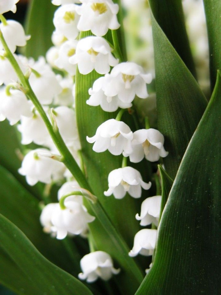 Biale Kwiaty Galeria Lily Of The Valley Flowers Lily Of The Valley Plants