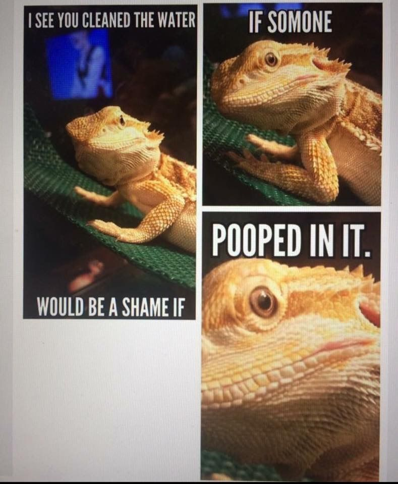 Oh My God That Is My Turtle Baby Bearded Dragon Bearded Dragon