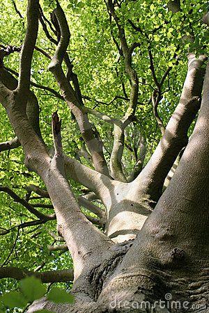 Mature beech trees