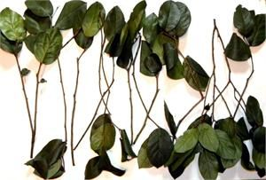 Salal foliage dyed & preserved shown here is the Natural Green-11-12 stems in this 4-5 Oz bundle Special order colors also available