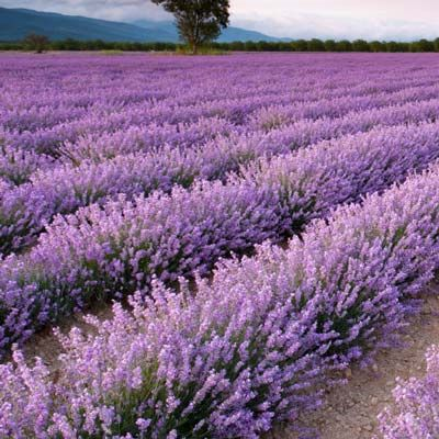 Phenomenal Lavender is the only variety that... • resists both hot summers and tough winters • refuses to die back during the winter • stands up against most diseases that kill other varieties • repels deer • one of the most fragrant lavender varieties