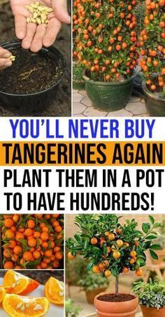How to Plant Tangerines at Home By Your Own #patiodepapas