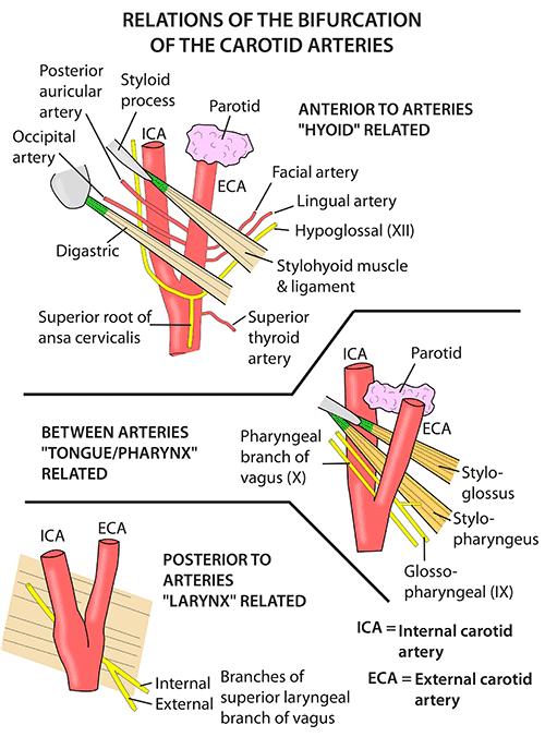Instant Anatomy Head And Neck Areasorgans Carotid Arteries