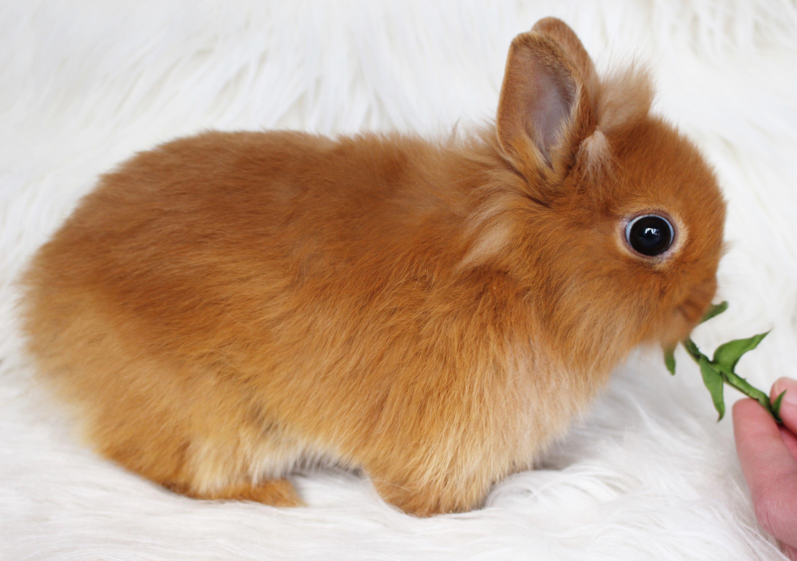 Zwergkaninchen Lowenkopfchen Kaninchen Lowenkopf Kaninchen Zwergkaninchen