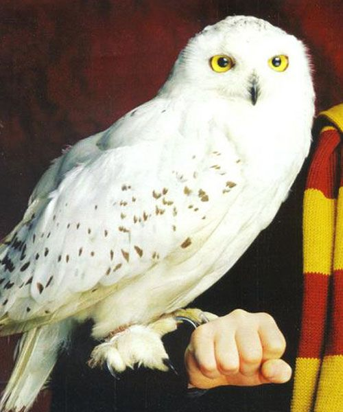 Hedwig Harry Potter Owl Harry Potter Pictures Harry Potter Characters