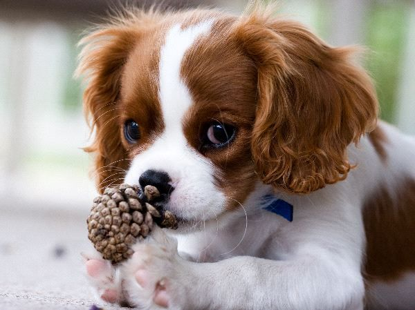 cute cavalier king charles puppy smells a pinecone