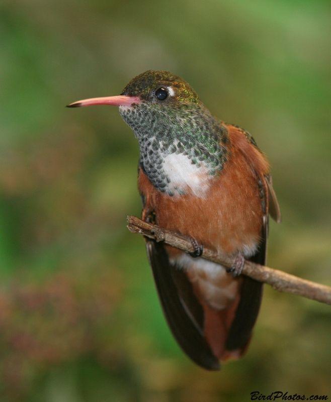 The Amazilia Hummingbird (Amazilia amazilia) is a species of hummingbird, a family of small near passerine birds.  The Amazilia Hummingbird occurs in western Peru and Ecuador