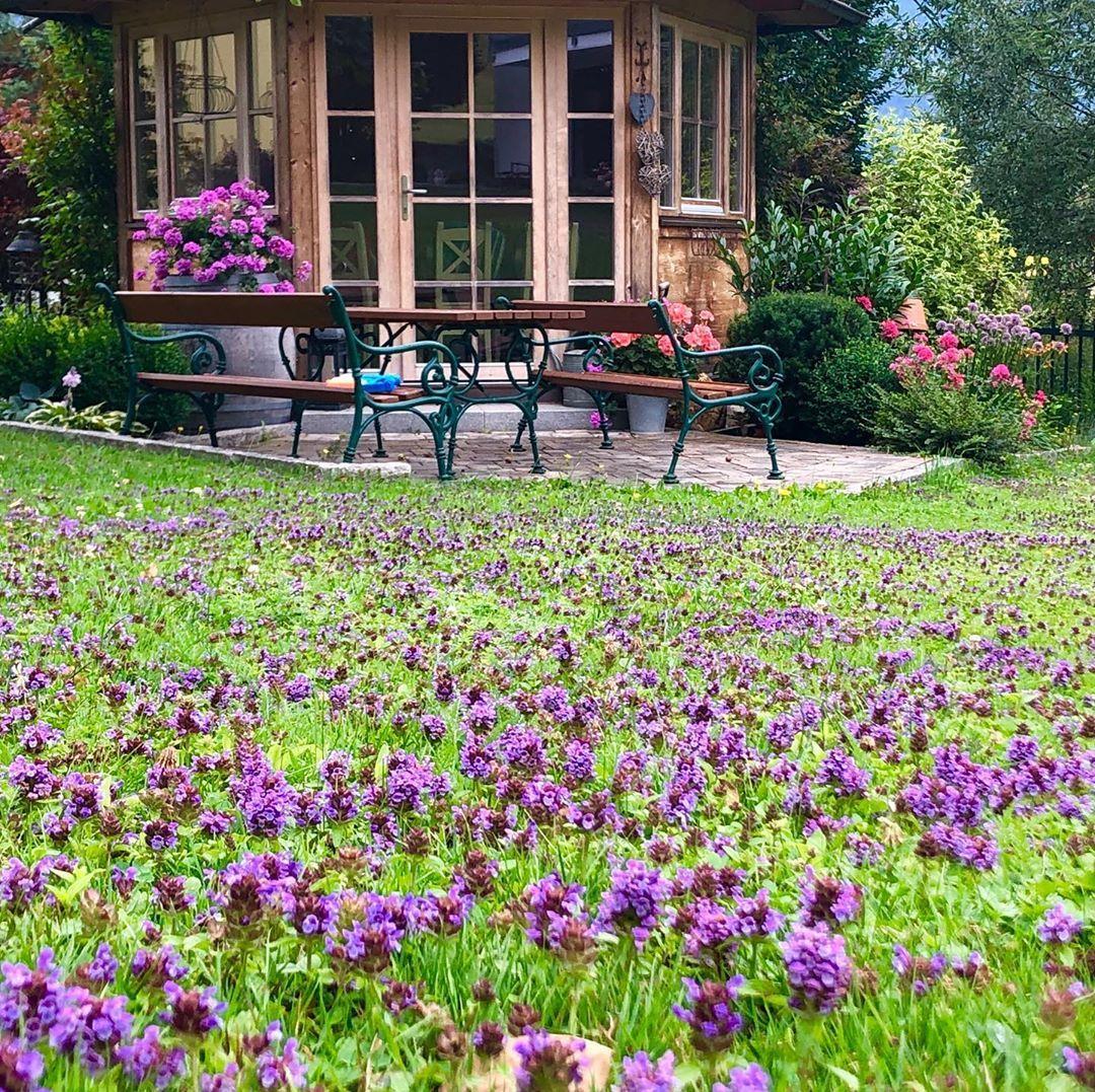 Ein Rasen Voller Braunelle Unkraut Und Heilpflanze In Einem So Ubersteht Er Die Hitzewelle Braunelle Rasenliebe Rasen Garten Ideen Heilpflanzen Garten