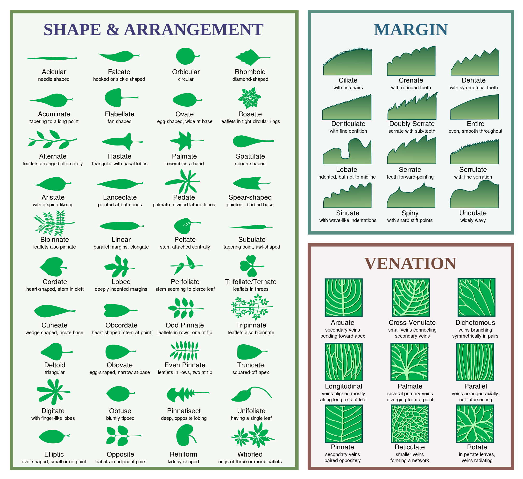 New England Shrub Identification Small Round Leaves Evergreen Google Search Leaf Identification Chart Leaf Identification Plant Identification