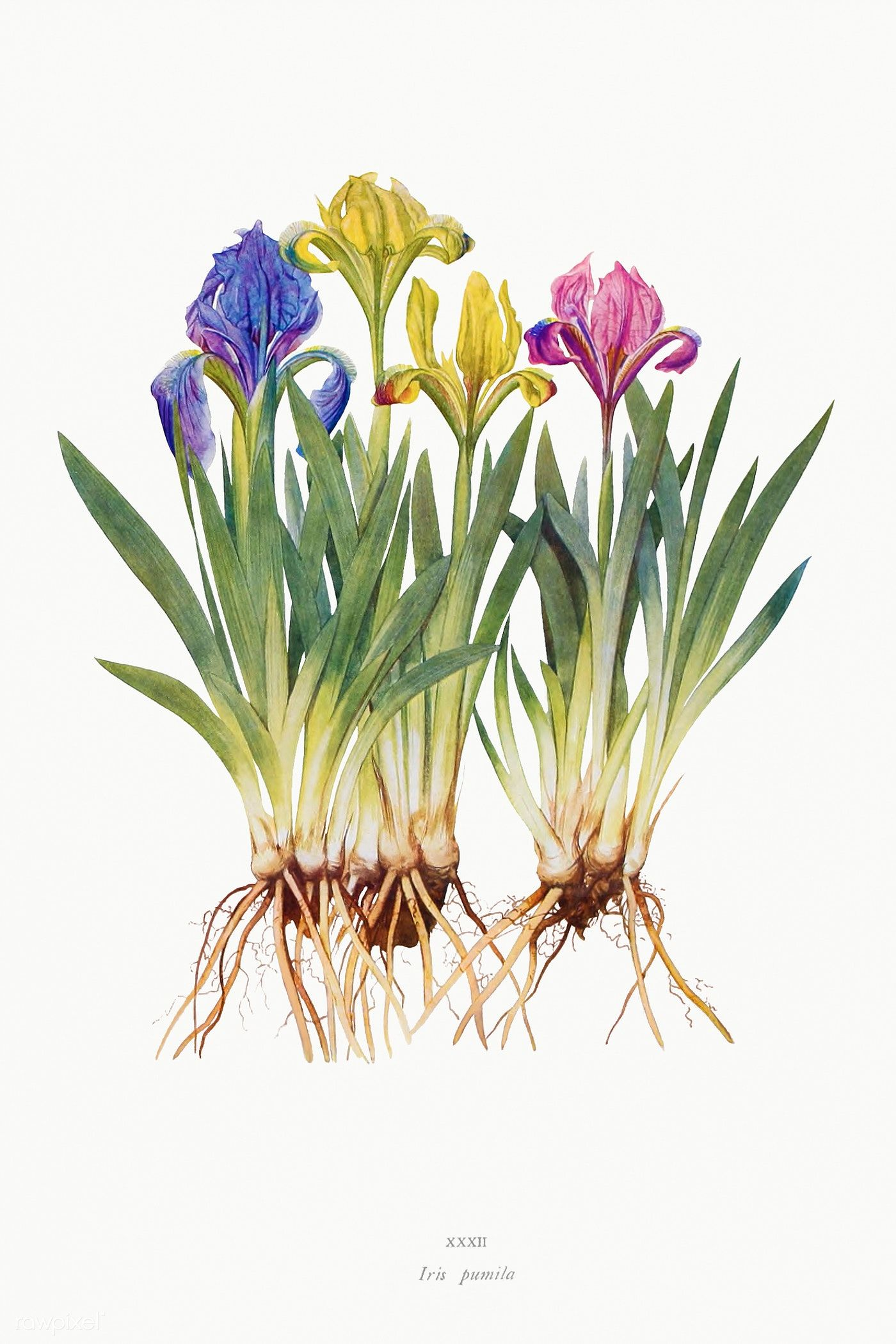Iris Pumila From The Genus Iris By William Rickatson Dykes 1877 1925 Original From The Biodiversity In 2020 Flower Illustration Iris Flowers Botanical Illustration