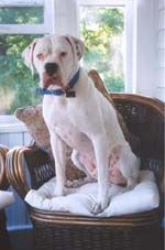 Legacy Boxer Rescue Serving The Dallas Ft Worth Dfw Metroplex The White Boxer Boxer Rescue Boxer Cute Animals