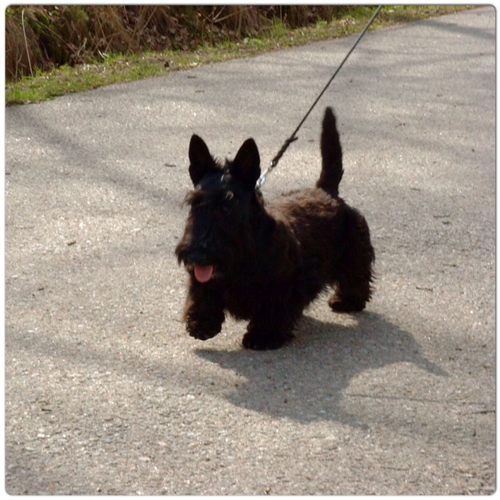 Puppy Agnes 5 5 Months Old Is Out For A Walk Scottish Terrier Fluffy Cat Cute Animals