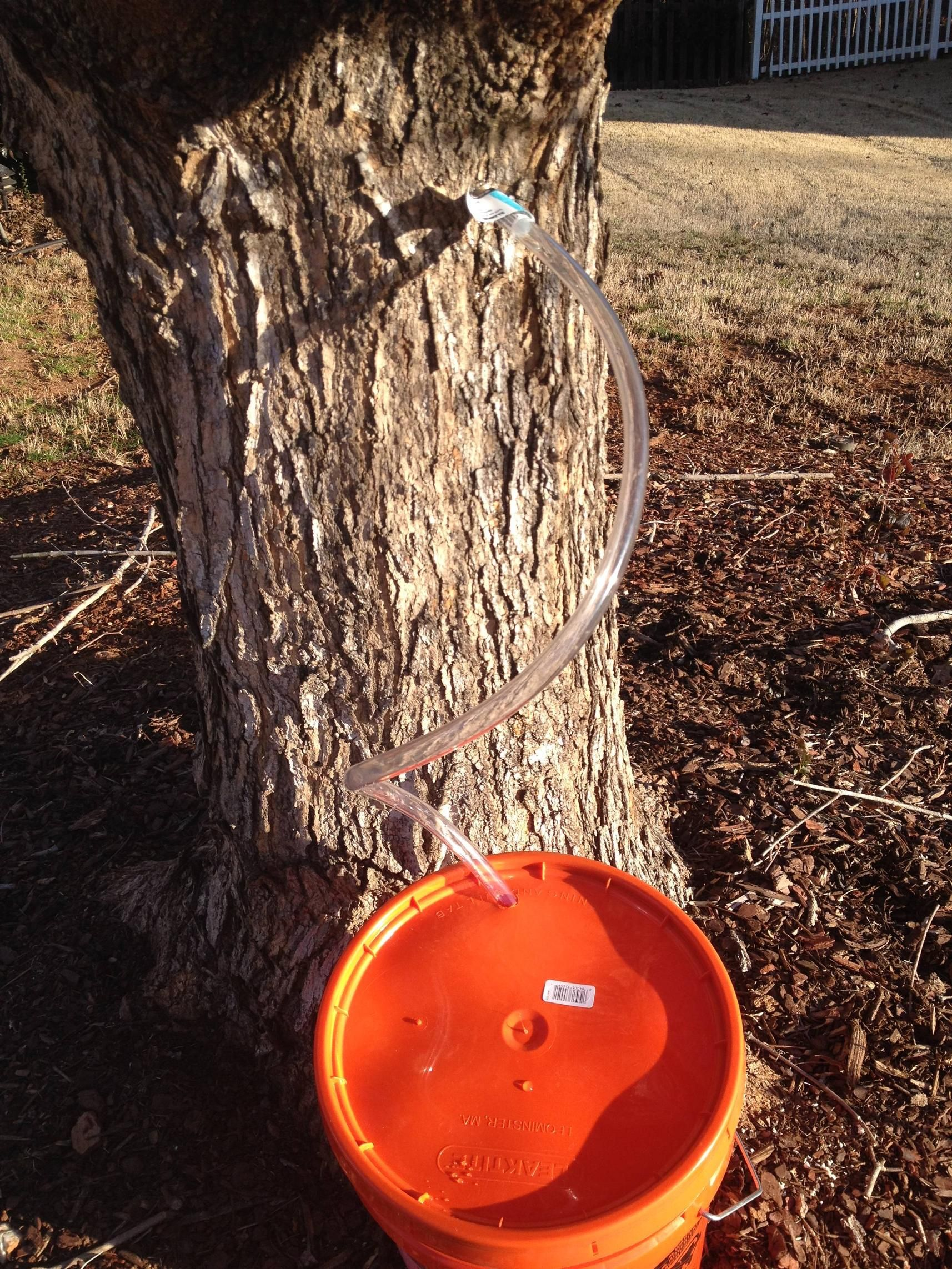 how to tap maple trees for syrup the home depot community