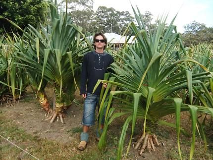 Pandanus Trees for sale, | Plants | Gumtree Australia ...