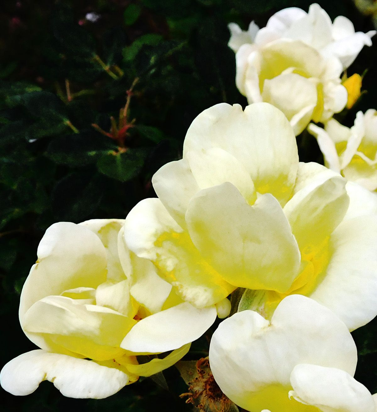 Lemon Chiffon Peony Is the Summer Bloom of Our Dreams in