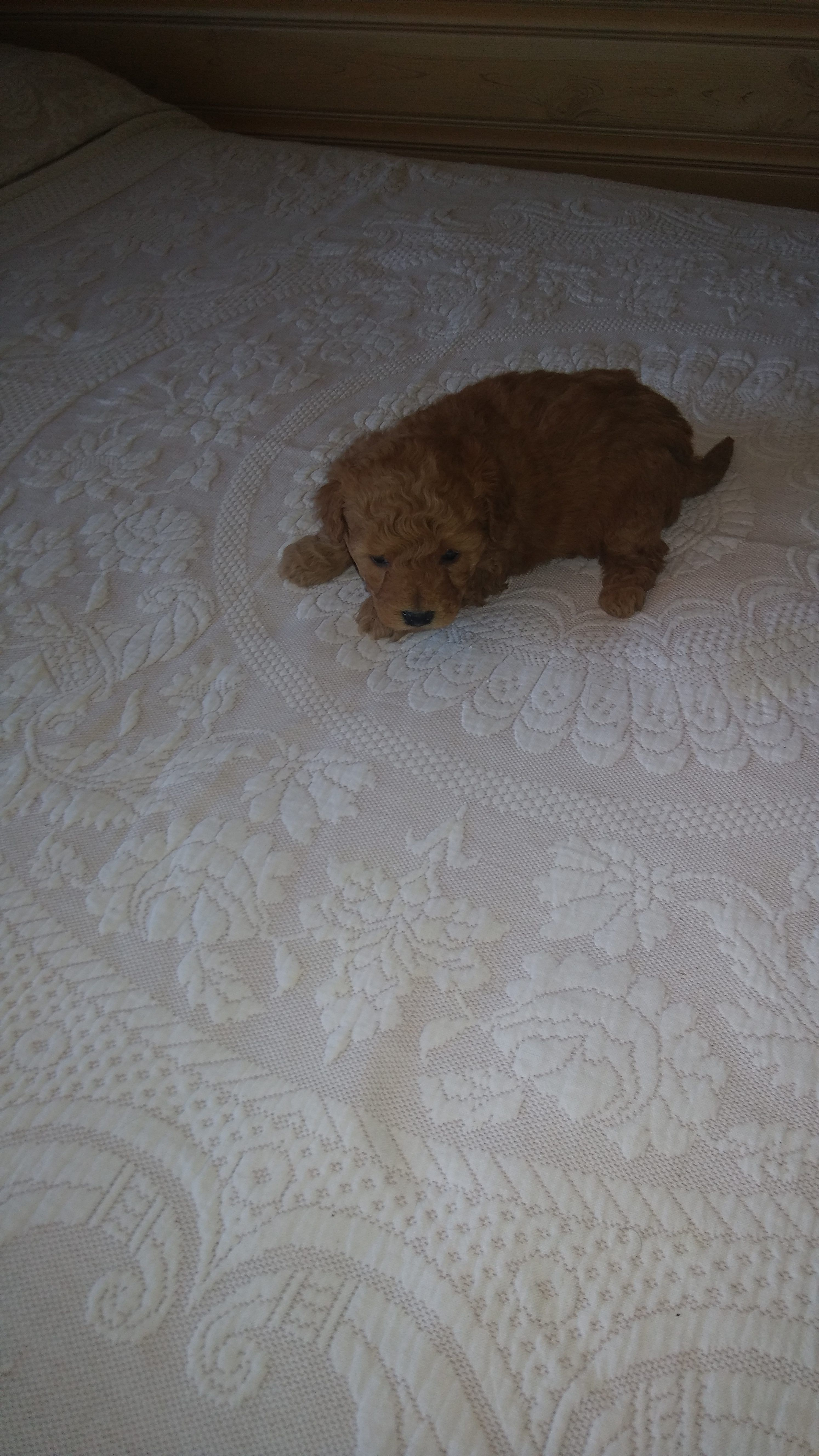 Meet Harper Male Toy Goldendoodle Puppy In Reading Michigan