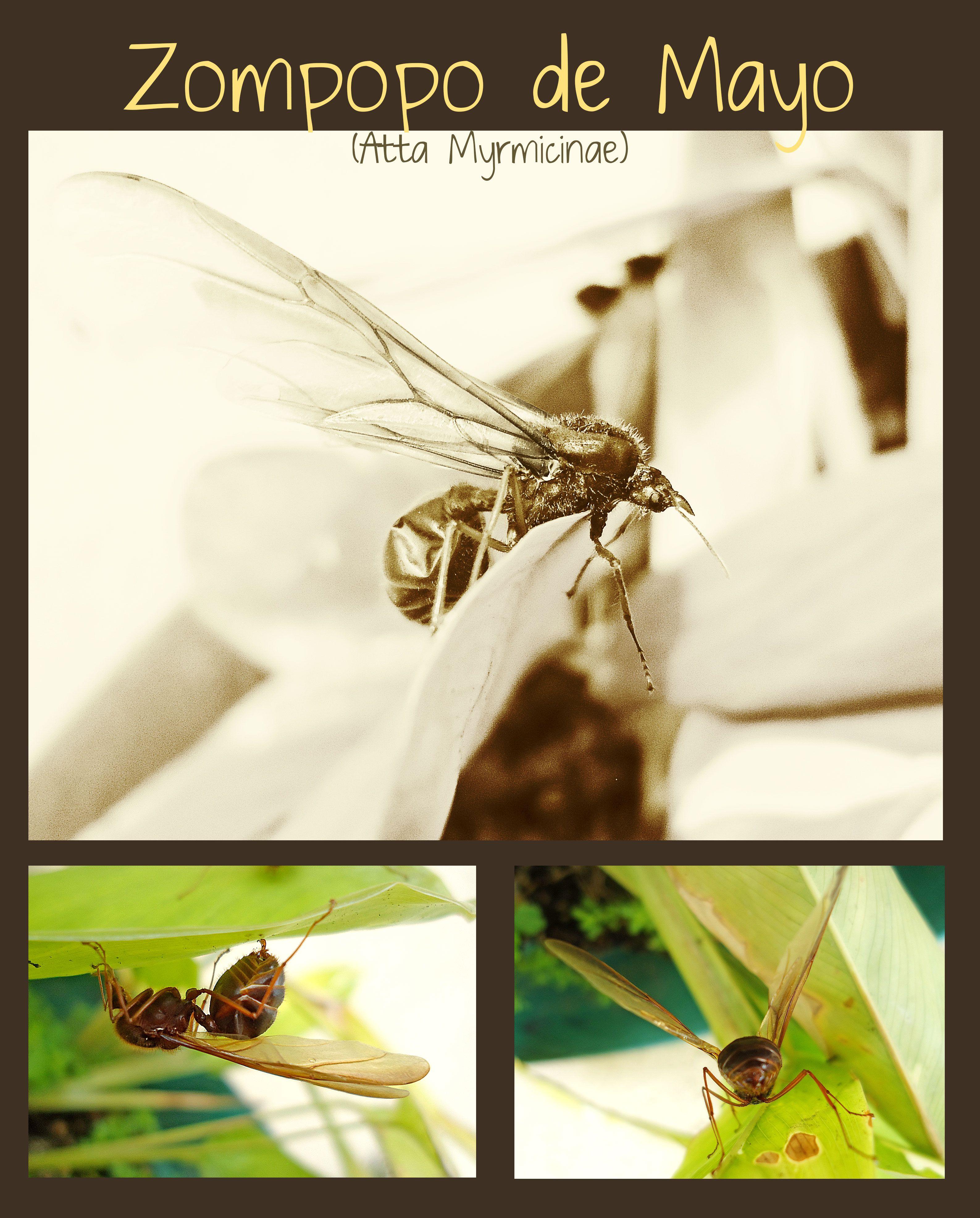 Zompopo De Mayo Guatemala Hormiga Gigante Zompopo Atta Ants