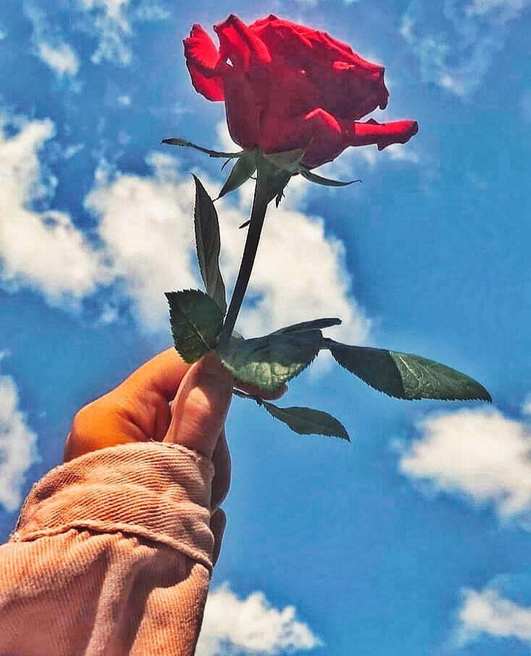 صور فوتوغرافية من تصويري Flower Aesthetic Aesthetic Roses Beautiful Nature Wallpaper