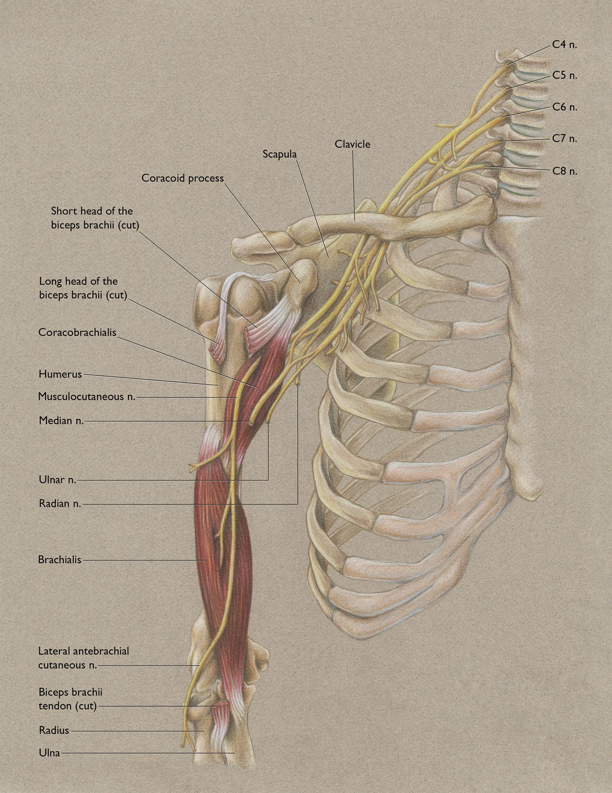 Anterior Shoulder And Musculocutaneous Nerve Pinterest