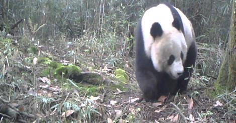 Il WWF diffonde il recente video di un Panda Gigante in libertà. Si tratta di un documento raro e prezioso.