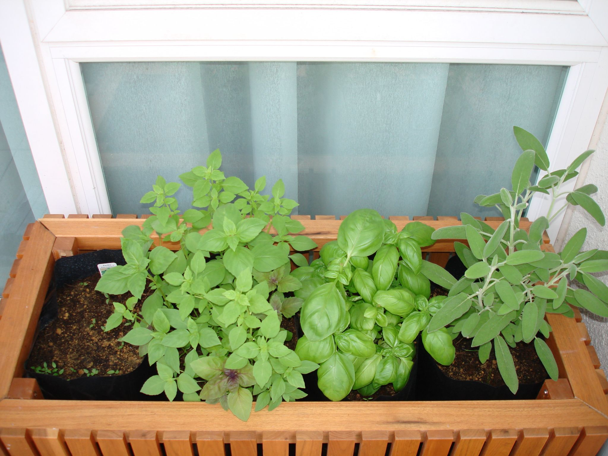 Growing Western Herbs In The Tropics Malaysia And Asia My