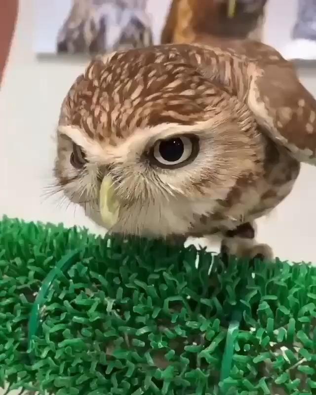Leisure Owl