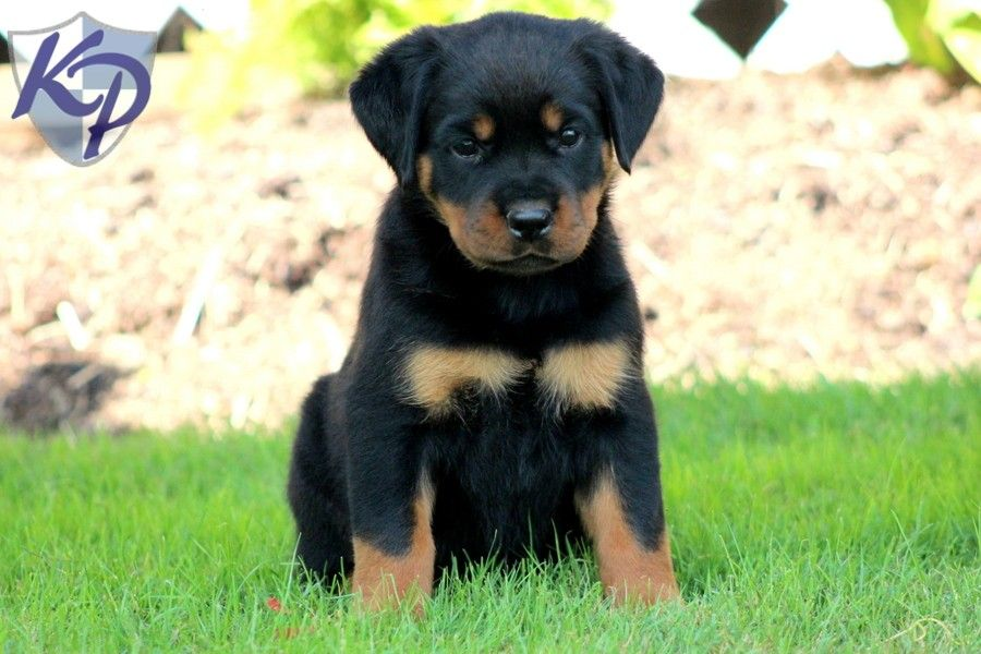 36 Awesome Husky Rottweiler Mix Images Rottweiler Mix Rottweiler Mix Puppies Rottweiler
