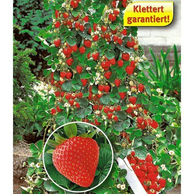 Kletter Erdbeere Hummi 3 Pflanzen Pflanzen Pflanzideen Erdbeerpflanzen