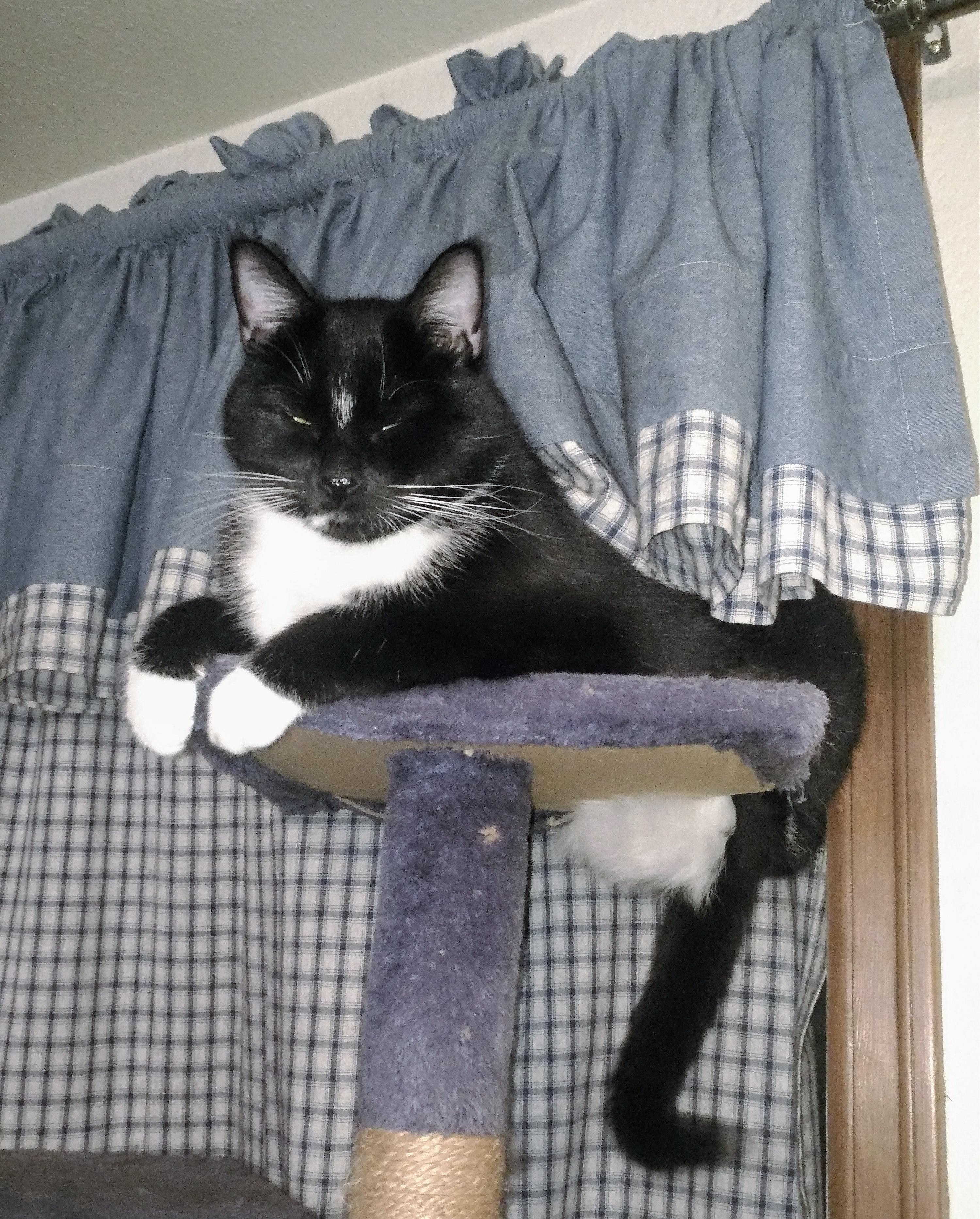 Pin on Tuxedo Cats
