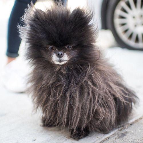 Mocha Pomeranian 6 Y O Bowery Rivington St New York