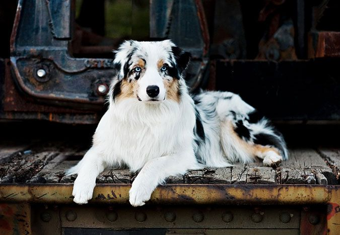 You Ve Been Stumbled Aussie Dogs Australian Shepherd Dogs Dog