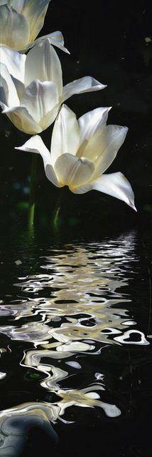 Wandfolie »Christine Nöhmeier: Weiße Tulpen – Tulpenwasser«