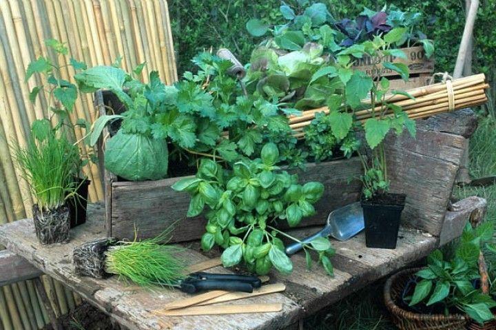 quand et comment planter des aromatiques au potager ou au. Black Bedroom Furniture Sets. Home Design Ideas